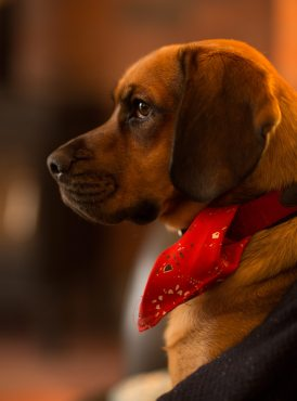 A brown puppy looks to the left with a red bandana on his collar